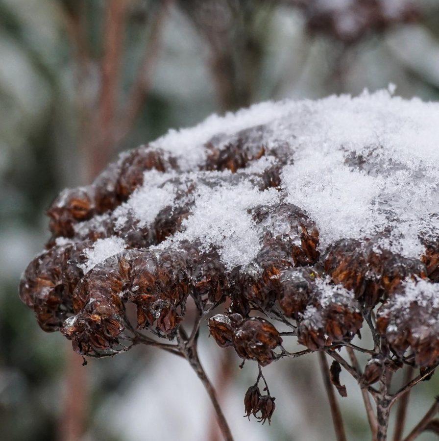 Falkner SNOW 4